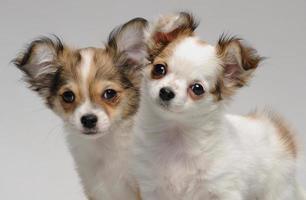 dois filhotes de cachorro chihuahua bonito foto