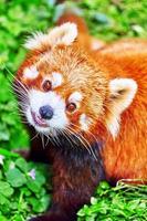 panda vermelho bonito. foto