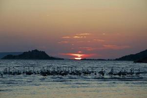 flamingos (phoenicopterus) por do sol foto