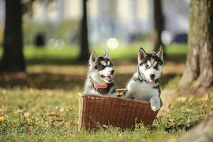 filhote de cachorro dois husky em uma cesta foto