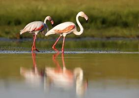 flamingo rosa foto
