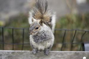 esquilo de perto foto
