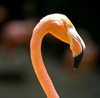 cabeça de flamingo