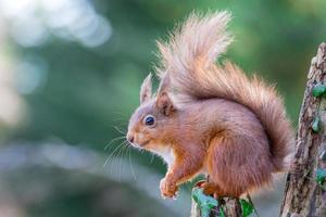 esquilo vermelho na floresta inglesa foto