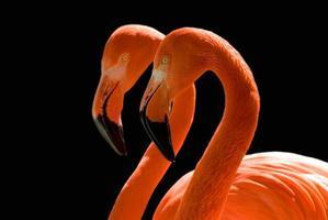 dançando flamingos no preto foto