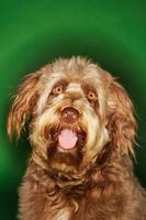 cão lontra foto