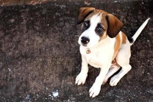 cão da tailândia, cão de olhos closeup foto