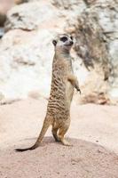 meerkat ou suricate.