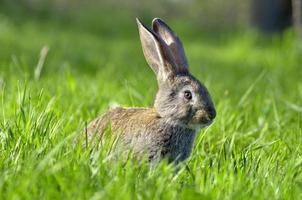 coelho jovem no campo