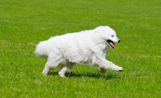 o cachorro samoiedo foto