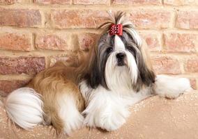 raça de cachorro shih tzu foto