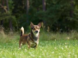 cão de raça misturada. foto