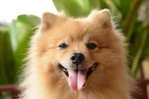 smiley face pomeranian cachorro foto