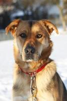 cão pastor na neve foto
