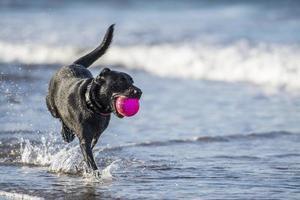 cachorro correndo no mar carregando bola, com espaço de cópia foto
