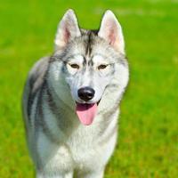 cão husky foto