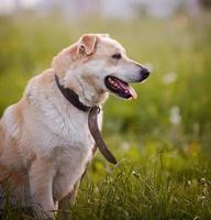 retrato de um cão não puro-sangue em uma coleira velha. foto