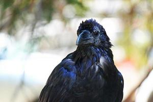 corvo por dia foto
