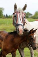 égua árabe de raça pura pastando no pasto com seu potro