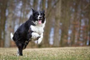 cão border collie ao ar livre na natureza foto