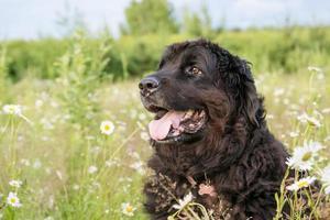 cão de terra nova foto