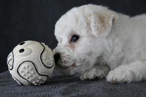 filhote de cachorro bishon frise foto