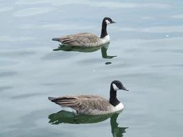 gansos do canadá natação foto