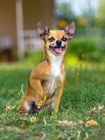 cachorro chihuahua foto