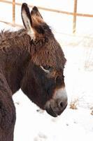 retrato de burro com franja foto