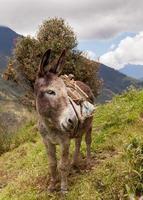 burro cinzento, américa do sul foto
