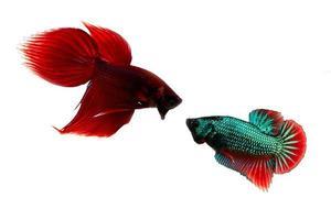 peixe lutador siamês foto