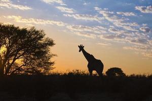 girraffe silhueta contra o céu do nascer do sol foto