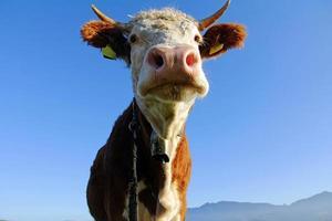 gado simental jovem foto