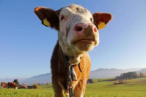 jovem gado simental estendeu a língua foto