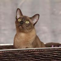 lindo gato birmanês na frente do cobertor prateado foto