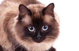 retrato de um gato siamês