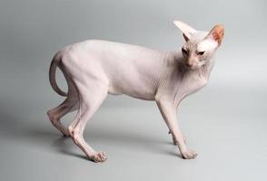 gato Esfinge careca contra fundo cinza foto