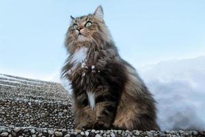 gato norueguês da floresta foto