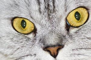 grande gato cinzento foto