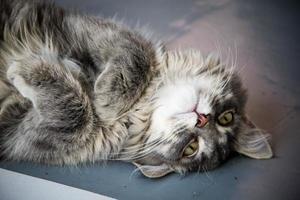 gato cinza foto