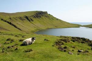 ovelha das montanhas foto