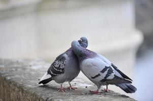 beijando pombos foto