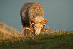 carneiro merino no prado foto