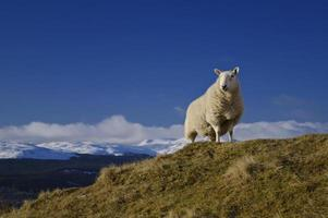 rei da colina - ovelhas acima do lago tay escócia foto