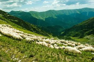 ovelhas nas montanhas foto