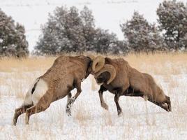 carneiros de veado selvagem batendo cabeças