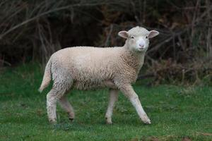 ovelha no campo foto