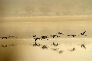flamingos (phoenicopterus) na laguna de calderon, moral de calatrava. foto