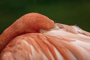 a coceira de flamingo foto