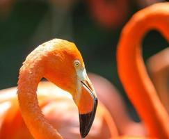 flamingos vermelhos